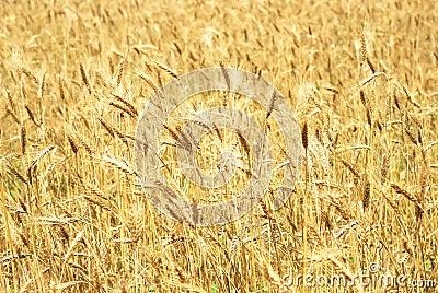 Wheaten field background