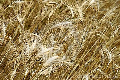Wheaten field background