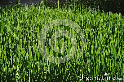 Wheatgrass and grain farming