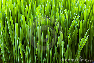Wheatgrass plant close-up