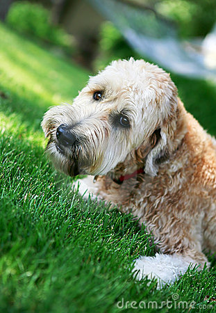 Wheaton terrier in the lawn
