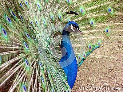 Wheel of the peacock