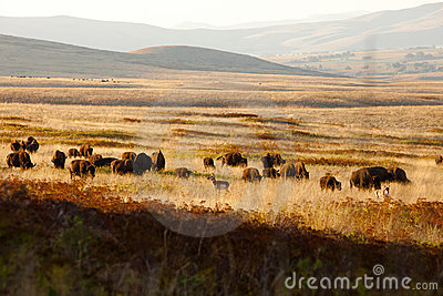 Where the Bison & Antelope Play