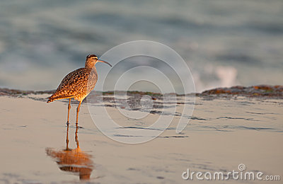 Whimbrel at beach