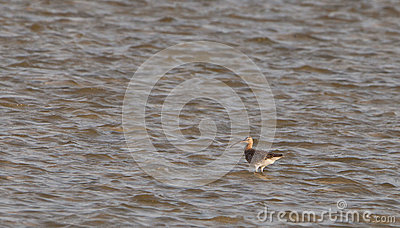 A Whimbrel in the ocean
