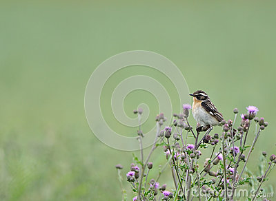 Whinchat bird on thistles