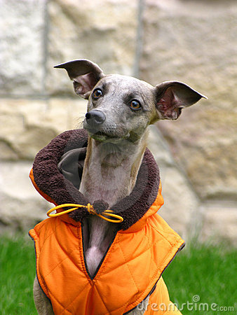 Free Whippet Royalty Free Stock Image - 7019016
