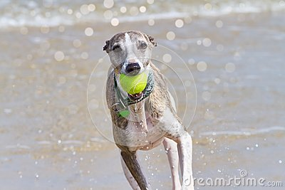 Whippet with ball
