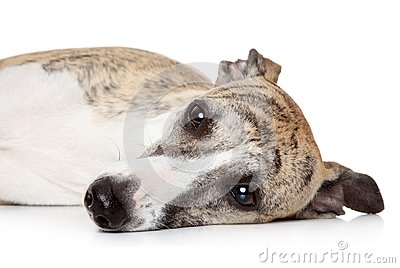 Whippet dog resting on a white background