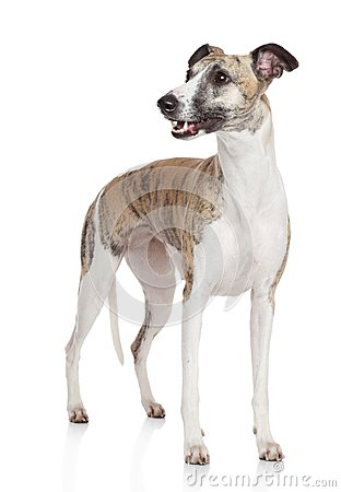Whippet dog stand on white background