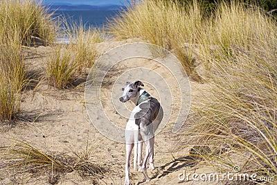 Whippet in dunes
