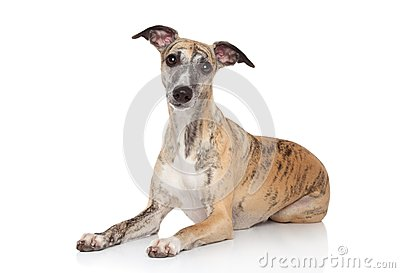 Whippet lying on white background