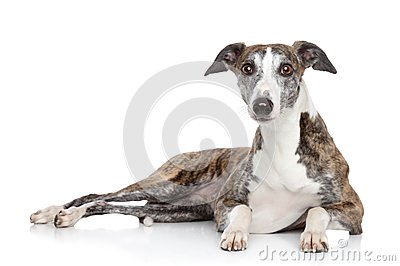 Whippet lying on a white background