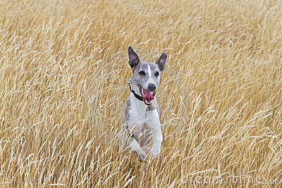 Whippet in meadow