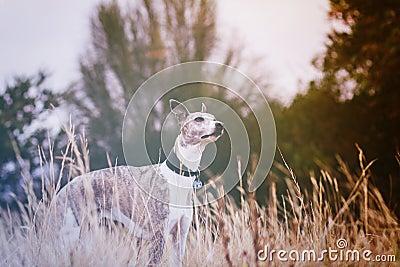 Whippet in meadow