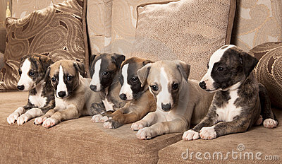 Whippet Puppies on Whippet Puppies