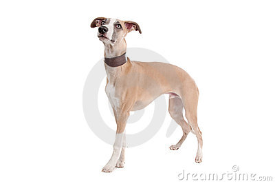 Whippet puppy dog