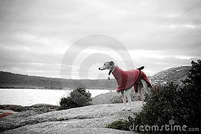 Whippet in red coat