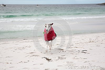 Whippet in red coat on beach