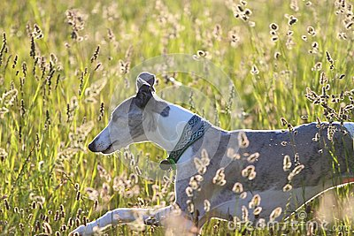 Whippet running through meadow