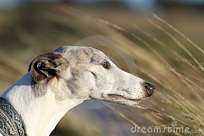 Whippet in the wind