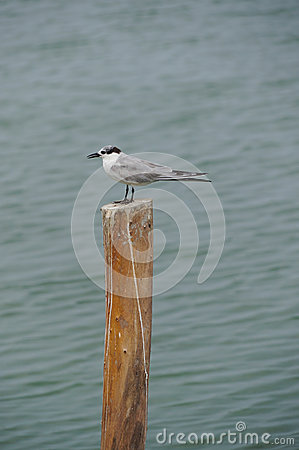 Free Whiskered Tern (Chlidonias Hybrida) Standing On Post Royalty Free Stock Images - 37955879