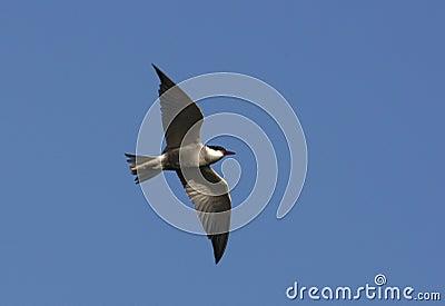 Whiskered tern, Chlidonias hybridus