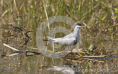 Whiskered Tern with eggs