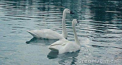 Whistlers Or Tundra Swans