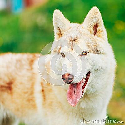 Free White Adult Siberian Husky Dog (Sibirsky Husky) Stock Photography - 48003862