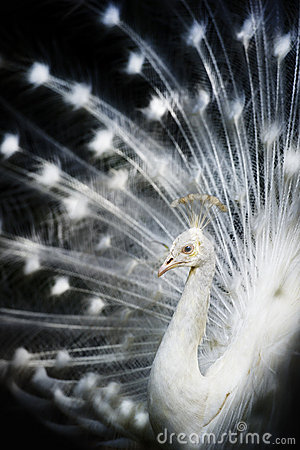 Free White Albino Peacock Royalty Free Stock Image - 21109896