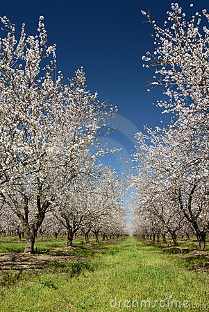 White Almond Blossoms