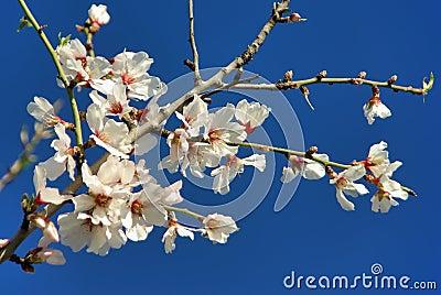 White Almond Flower in Majorca