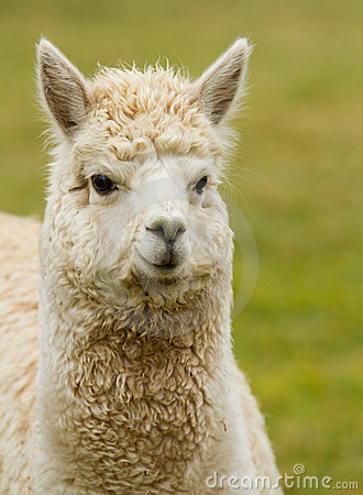 A white Alpaca looking to the right