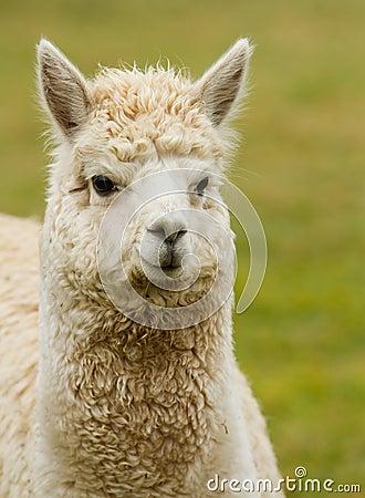 Alpaca portrait like small llama