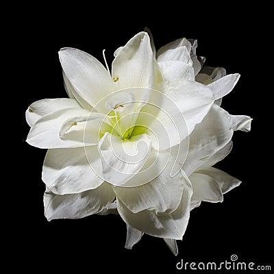 Free White Amaryllis Flower On Black Royalty Free Stock Photos - 8162638