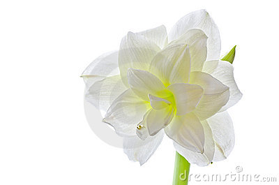 White amaryllis (hippeastrum species) isolated