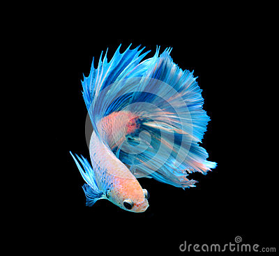 Free White And Blue Siamese Fighting Fish, Betta Fish Isolated On Bla Royalty Free Stock Image - 52133496