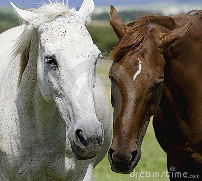 Free White And Brown Horse Royalty Free Stock Image - 10816736