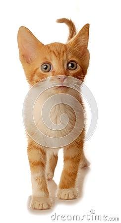Free White And Orange Kitten Walking Royalty Free Stock Photos - 6012568