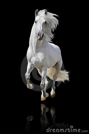 White andalusian horse isolated
