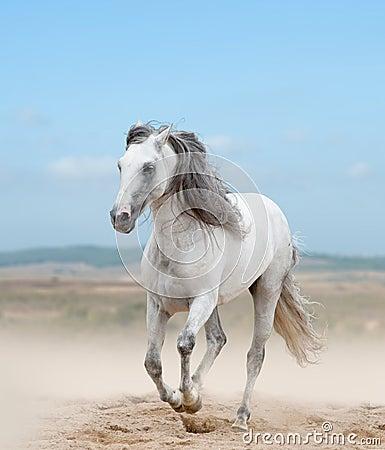 Free White Andalusian Stallion Stock Photo - 48845840