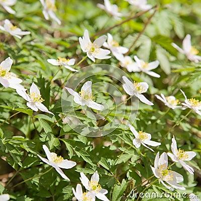 White Anemone nemorosa