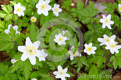 White anemones in Swedish forest
