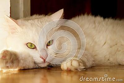 White (Angora) cat