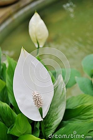 Free White Anthurium Stock Images - 23522564