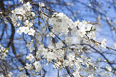 White apple flowers