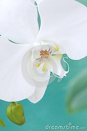 White  aquarelle orchid