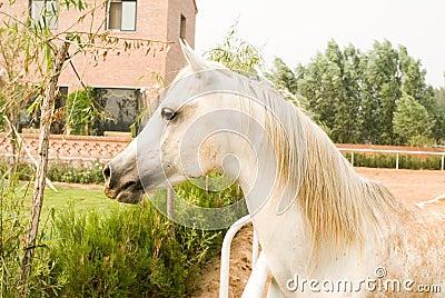 White  Arab horse