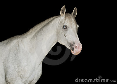 White arab horse on a black background